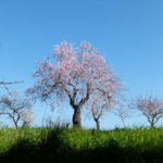 Mandelblütenfest in Son Servera